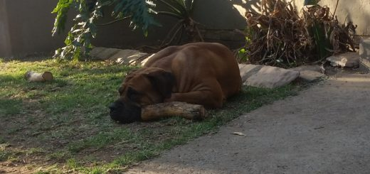 king-and-mila-boerboel